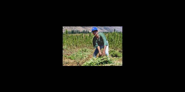 Planteur de cannabis dans la Bekaa - La Libre