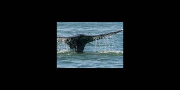 """Baleines: des ONG critiquent le """"commerce d'espèce en danger"""" - La Libre"""