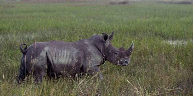 La justice impuissante face au braconnage des rhinocéros en Afrique du Sud - La Libre