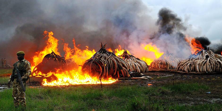 L'ivoire et la corne de rhinocéros valent hélas plus que l'or - La Libre