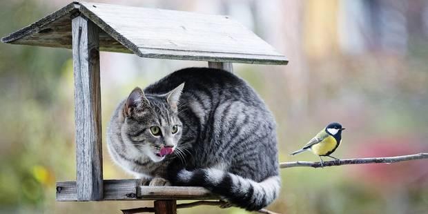 Le chat, ennemi de la biodiversité - La Libre