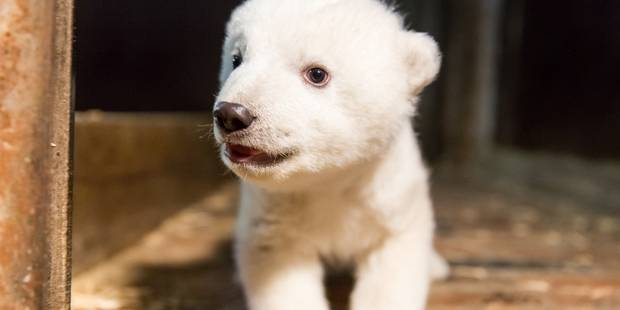 Après Knut, voici Fritz l'ourson polaire qui fait fondre Berlin - La Libre