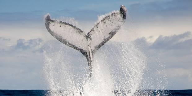 Le Japon lance une nouvelle campagne de chasse à la baleine - La Libre