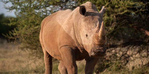Cornes de rhinocéros vendues aux enchères : qui sont les acheteurs ? - La Libre