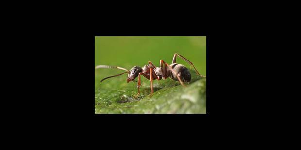 Les ondes GSM tuent les fourmis