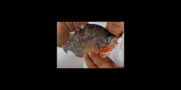 Un piranha de 14 centimètres découvert à... Malines