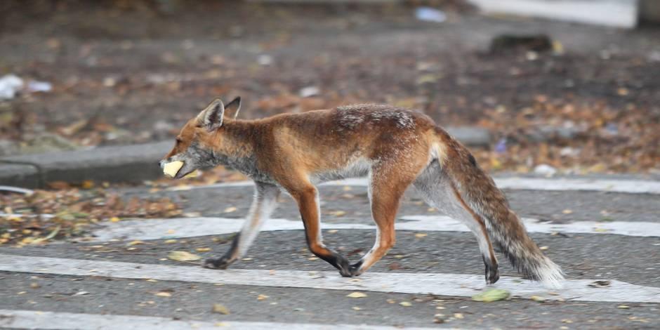 Retour des renards en ville: l'heure des poubelles bruxelloises a sonné