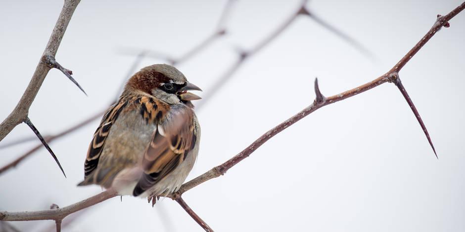 Recensement des oiseaux de jardin: la fin des moineaux en Belgique?