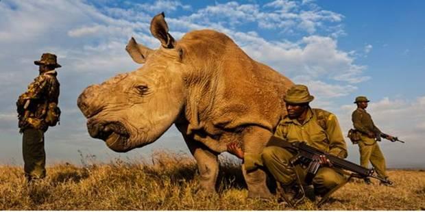 Sudan, le dernier rhinocéros blanc au monde, a ses propres gardes du corps - La Libre