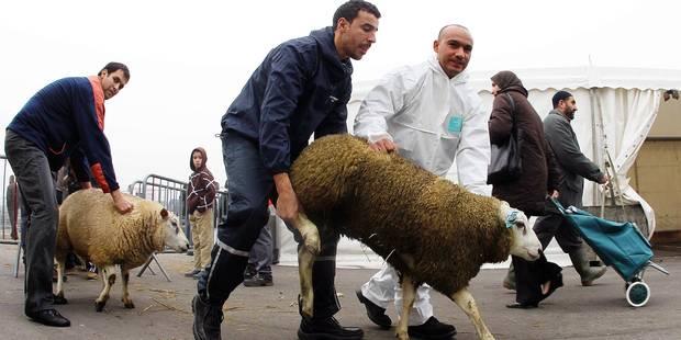 Une formation pour bien tuer les moutons - La Libre