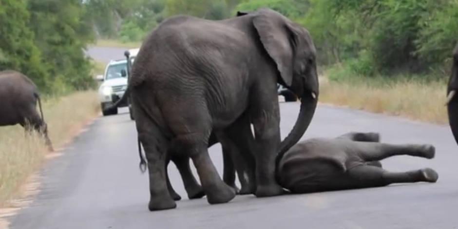 Un éléphant tombe en plein milieu d'une route, le troupeau se précipite pour le secourir