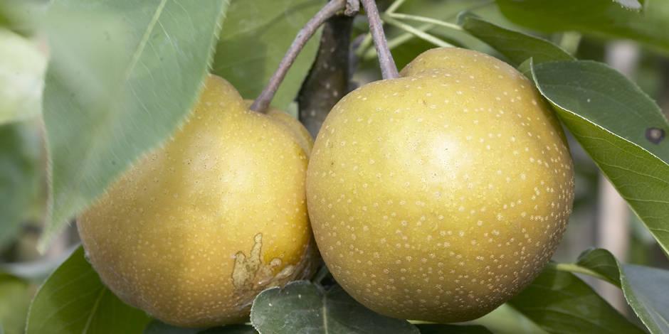 La poire asiatique, remède contre la gueule de bois ?