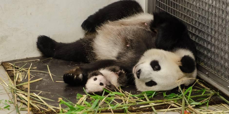 le b b panda de pairi daiza fait ses premiers pas la libre. Black Bedroom Furniture Sets. Home Design Ideas