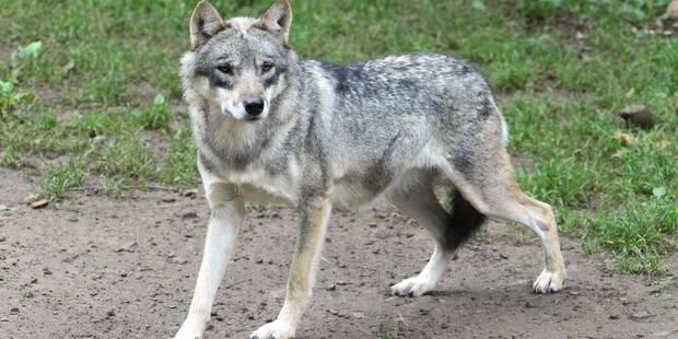 Des chasseurs ont vu un loup dans une forêt en province de Luxembourg: crédible? - La Libre