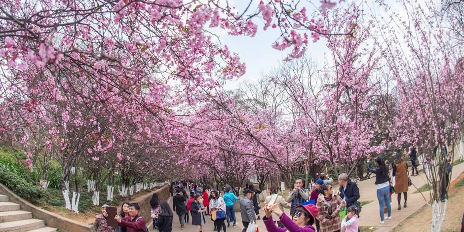 Les superbes images des cerisiers chinois en fleurs