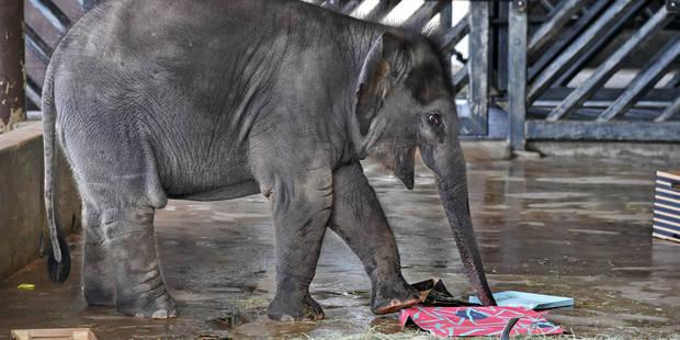 Plus de 20 éléphants tués en Birmanie en 2017 - La Libre