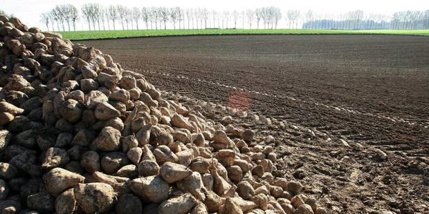 Des planteurs de betteraves veulent créer une nouvelle sucrerie en Belgique - La Libre
