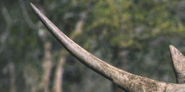 Afrique du Sud: la justice autorise des enchères de cornes de rhinocéros - La Libre