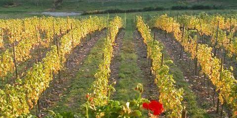 Le vignoble wallon a doublé en deux ans - La Libre